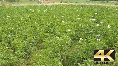 Potato Flower Culture