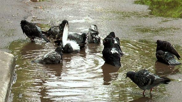 Thumbnail for Pigeon Having a Bath After Rain