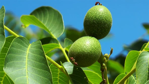 Thumbnail for Green Walnuts