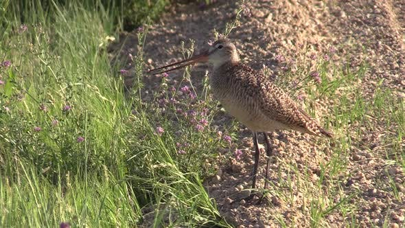 Thumbnail for Marbled Godwit Shorbird Calling Singing Song in South Dakota in Summer