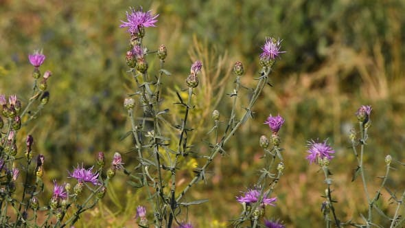 Thumbnail for Pink Purple Thistle Flowers Tremble In The Wind