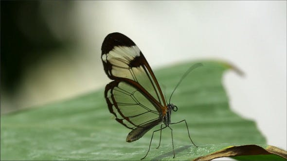 A Brown and Transparent Wing Butterfly