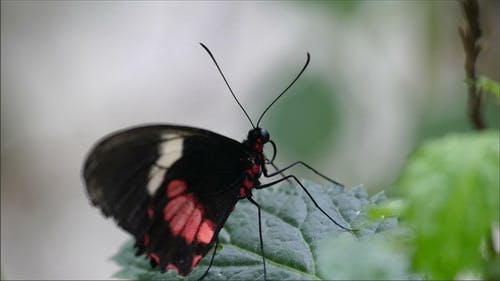 A Black Butterfly with Red Spots and Long Horn