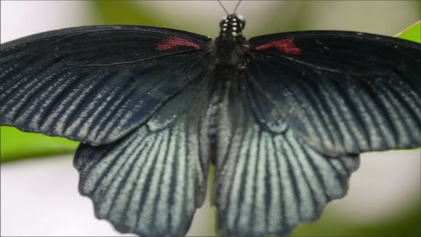 Thumbnail for A Black Back Wings of a Butterfly