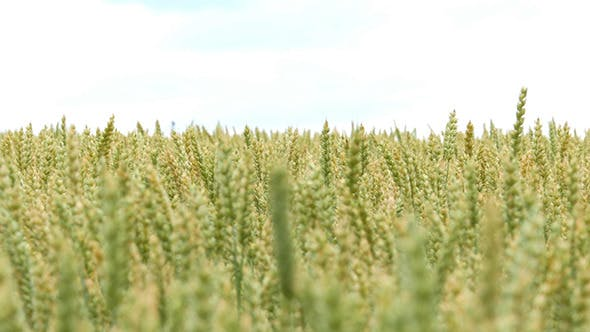 Thumbnail for Green Wheat Field Background