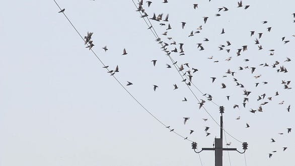 Thumbnail for Swallows Fly and Sit on electric Wires 6
