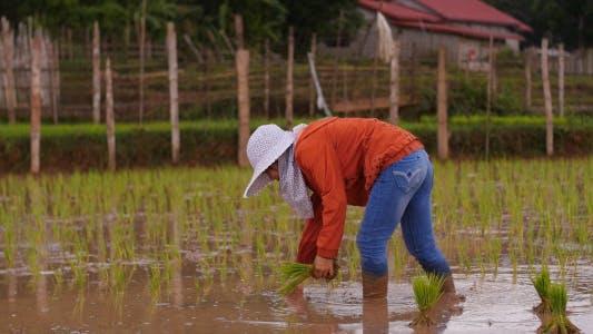 Farmer Rice Farming