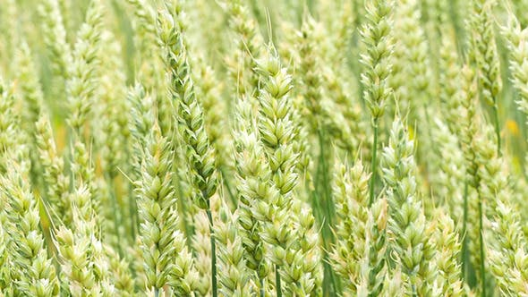 Cover Image for Green Wheat Field Background