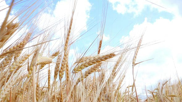 Thumbnail for Wheat Field Against A Blue Sky