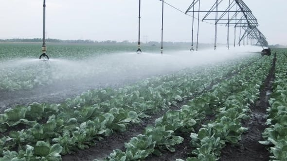 Thumbnail for Field Irrigation Of Cabbage