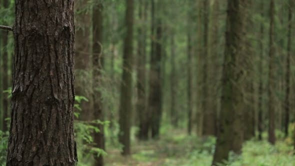 Thumbnail for Forest With Fallen Trees