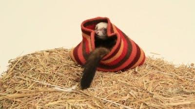 Ferret In A Hat