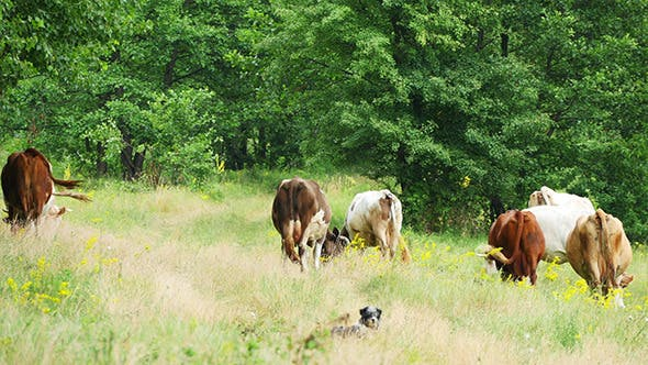Cover Image for Cows Grazing On Green Summer Meadow