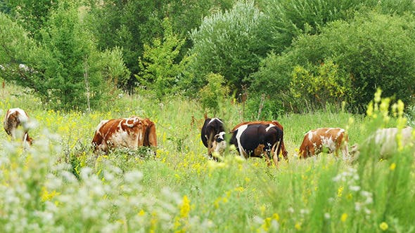 Thumbnail for Cows Grazing On Green Meadow