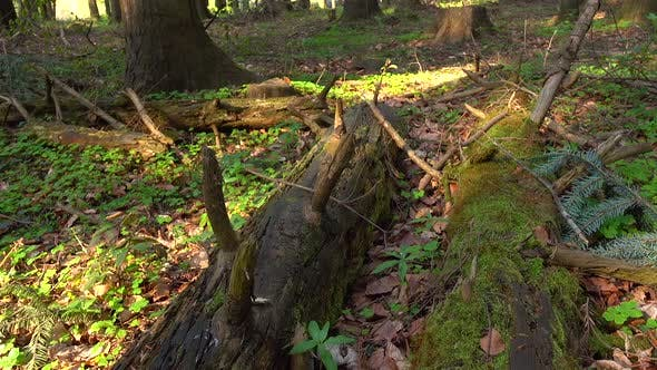 Thumbnail for Nature of the Wild Forest, Fallen Trees Grow with Moss