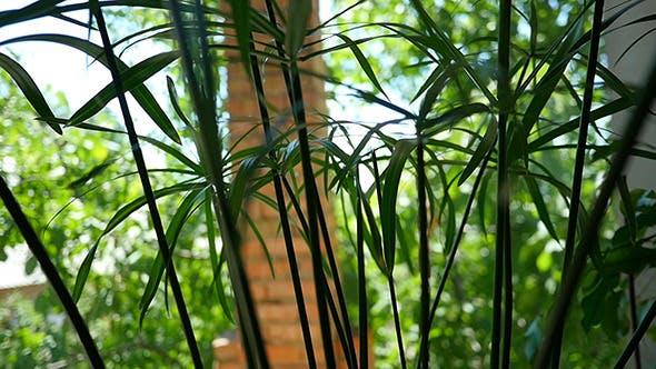 Papyrus Green Plant