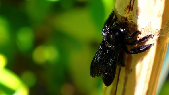 Thumbnail for Beautiful Big Black Bright Bee Eating Palm Tree