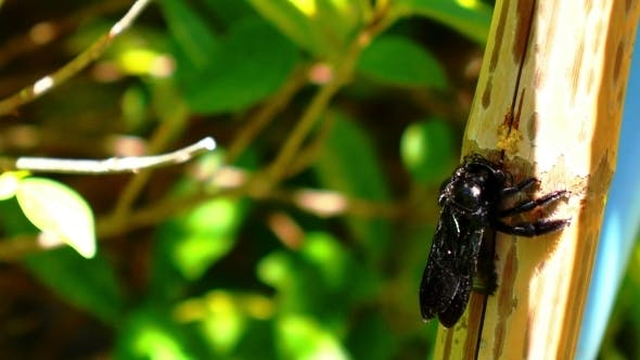 Cover Image for Big Black Bug Gnawing a Bamboo Tree During Sunny