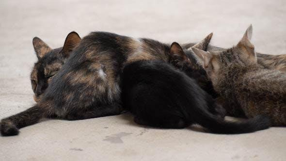 Thumbnail for Kitten Cat Eatting