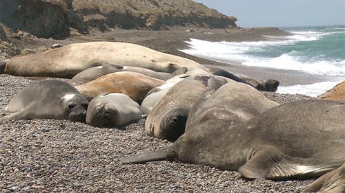 Seal Rookery on The Coastline. The South of Argent