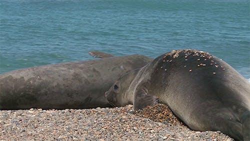 Argentinean Fur Seals. Punta Ninfas Place