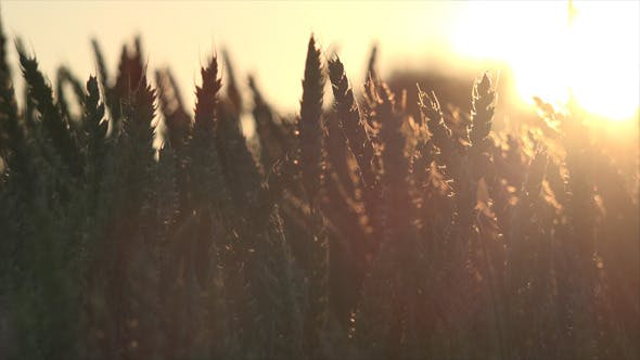 Thumbnail for Wheat Field and Sunset 2