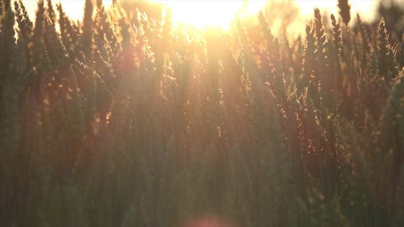 Thumbnail for Wheat Field and Sunset 3