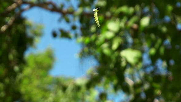 Thumbnail for Caterpillar Hanging From a Tree