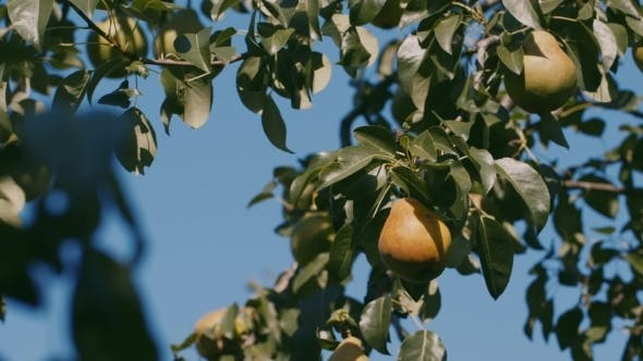 Thumbnail for PEAR On The Tree