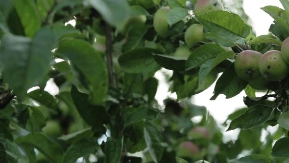 Thumbnail for Apples On Apple Tree Branches