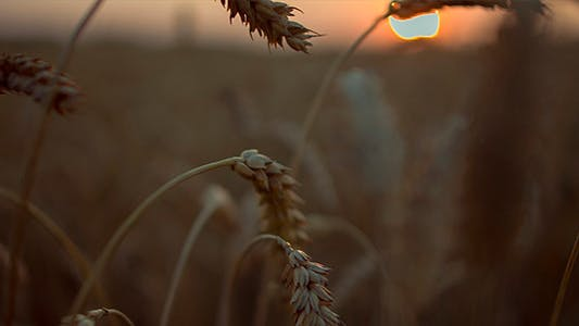 Thumbnail for Stems of Rye on Sunset Background