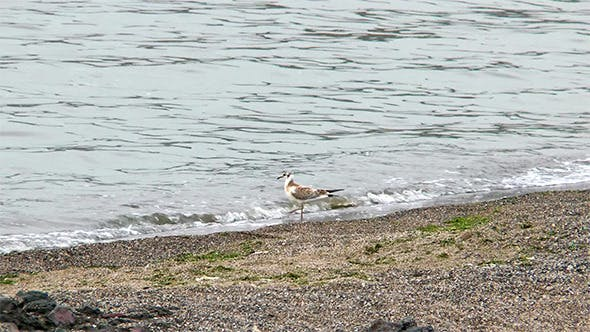 Thumbnail for Seagull in the Water on the Beach Looking for Food