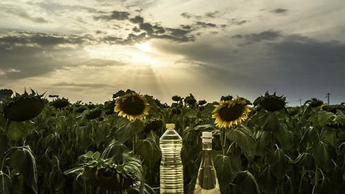 Sunflower Field At Sunset With Oil Bottles