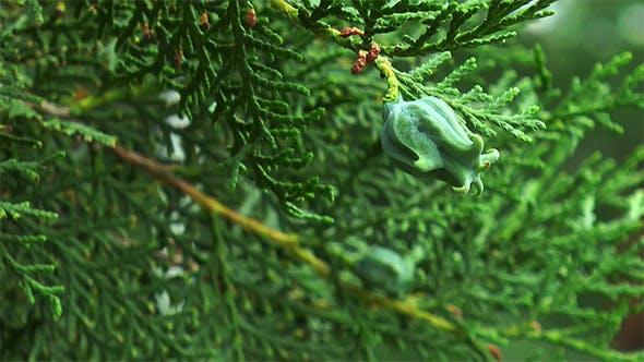 Cone Arborvitae