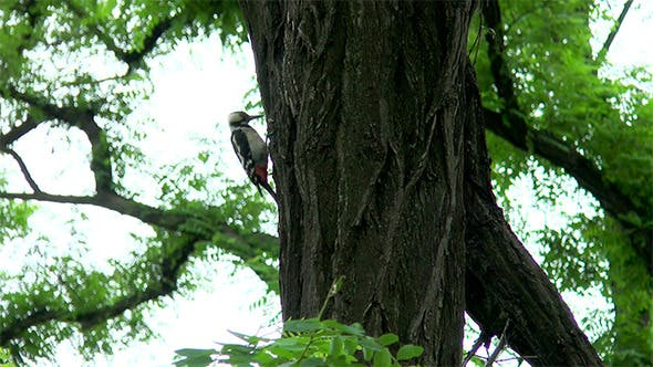Thumbnail for Woodpecker Hollows a Tree