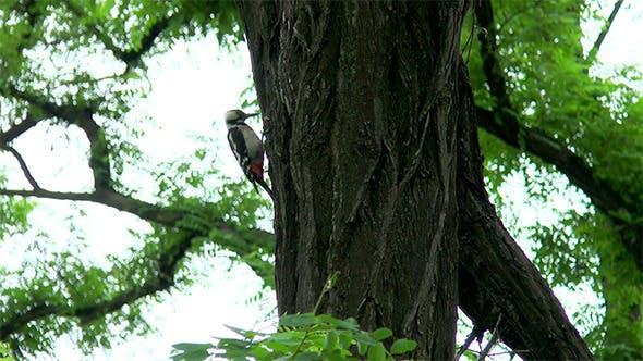 Woodpecker Hollows a Tree