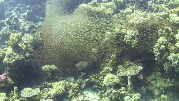 Thumbnail for Huge Shoal of Small Fish on Coral Reef