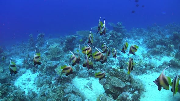 Thumbnail for Tropical Banner Fish on Vibrant Coral Reef