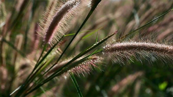 Thumbnail for Spike Grass.