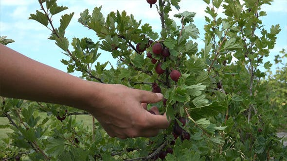 Thumbnail for Berries Picking 3