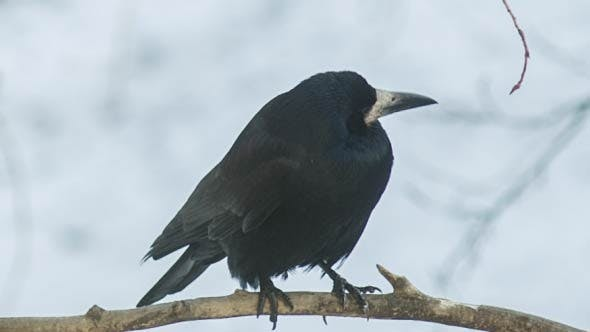 Thumbnail for Crow On A Branch Looks Around