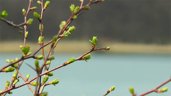 Thumbnail for First Spring Buds