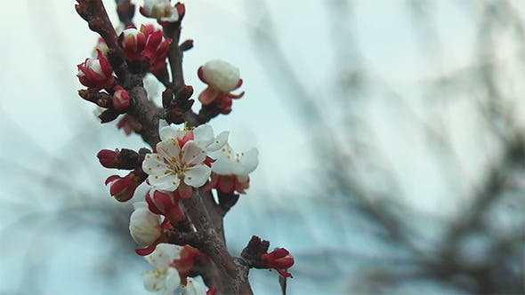 Thumbnail for Apricot Blossoms