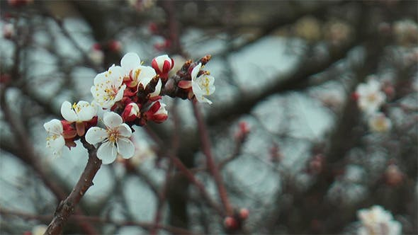 Thumbnail for Spring Flower of Apricot