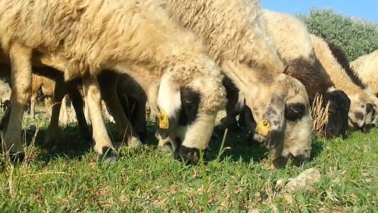 Thumbnail for Sheep