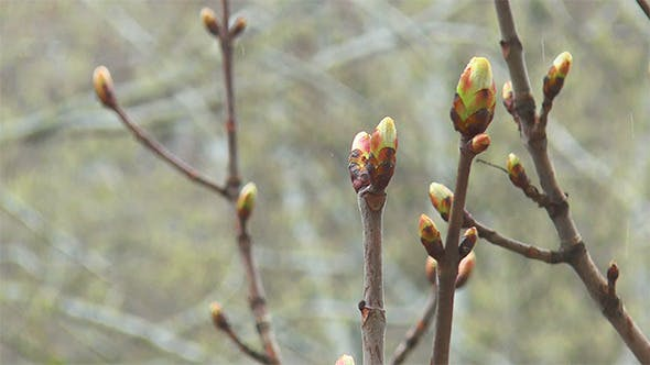Thumbnail for Spring Buds in the Rain