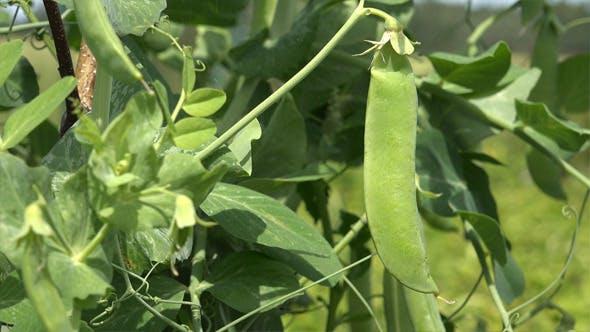 Thumbnail for Peas