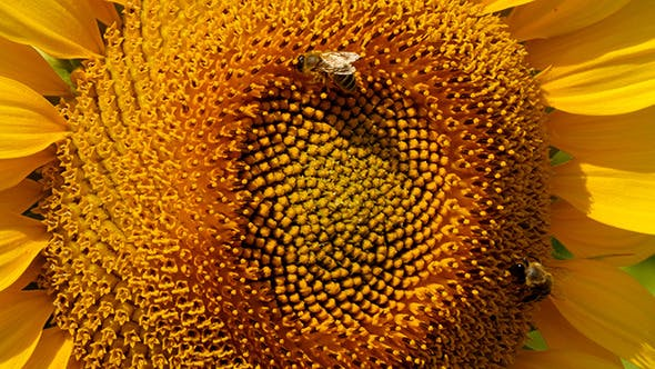 Thumbnail for Bee Collects Pollen In The Sunflower