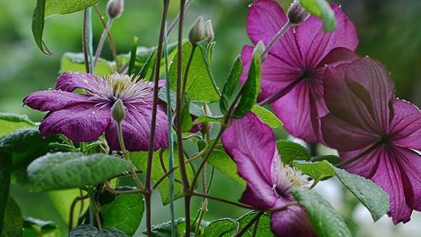 Thumbnail for Raindrops Falling On Clematis Flowers 1