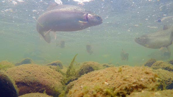Cover Image for Flock of Rainbow Trout Under Water